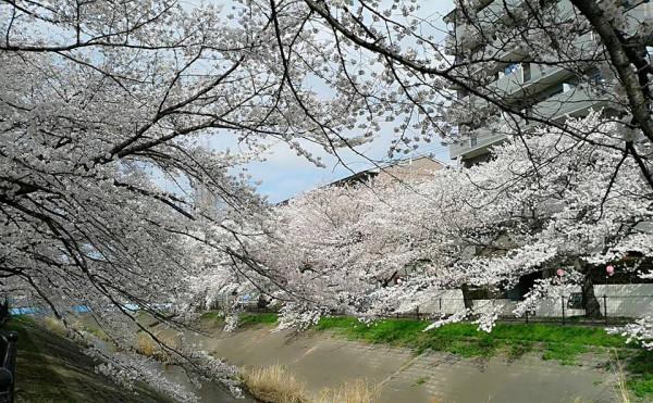 多摩市乞田川沿い~お花見をしながらのランチ『リバゴーシュ』