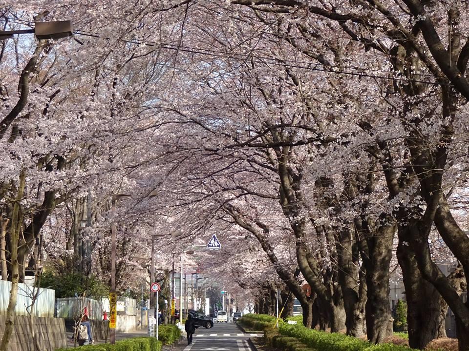 昭島で子連れお花見|ヤクルトレディおすすめ2017