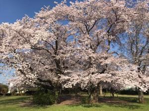 昭島市みほり公園|さくら咲きました?