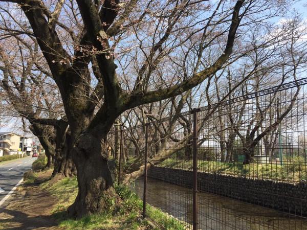 お花見|昭島|玉川上水|ヤクルトレディお勧め