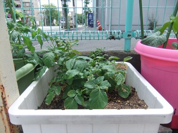 ヤクルト保育室の家庭菜園|トマトに隠された驚きの力