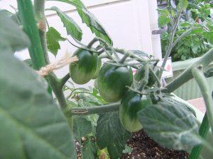 ヤクルト保育室野菜の収穫!ちゃんと育つものですね~愛情いっぱい野菜たち