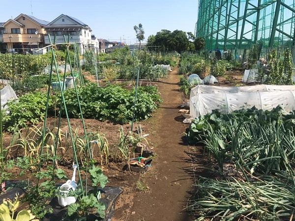 国立市民農園で楽しく!野菜作り始めました