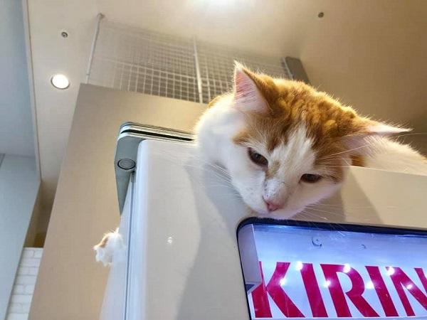 自販機の上で寝ている猫
